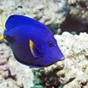 Powder-blue Tang Poster by Georgette Douwma