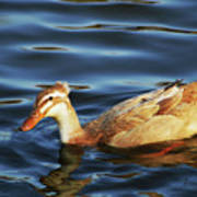 Puffy Headed Duck Poster