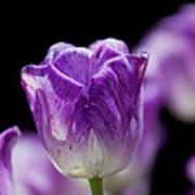 Purple Tulip Poster