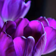 Purple Tulips 1 Poster