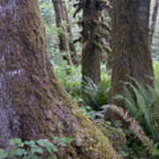Quinault Rain Forest 3152 Poster