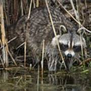 Raccoon Fishing Poster