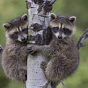 Raccoon Two Babies Climbing Tree North Poster