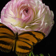 Ranunculus And Butterfly Poster
