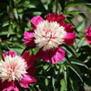 Red And Pink Peony Poster