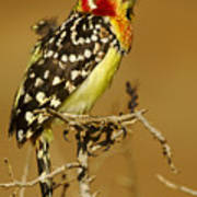 Red And Yellow Barbet Poster