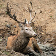 Red Deer Stag Cervus Elaphus Takes A Mudbath To Cool Down On Aut Poster