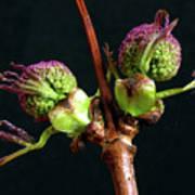 Red Elderberry Flower Buds Poster
