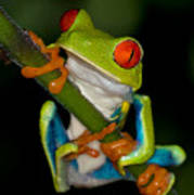 Red-eyed Green Tree Frog Hanging On Poster