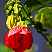 Scarlet Mallow At Pilgrim Place In Claremont-california- Poster