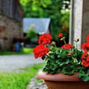 Red Garden Geranium Flowers In Pot , Close Up Shot / Geranium Fl Poster