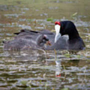 Red Knobbed Coot Poster