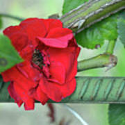 Red Rose On Natural Background With Green Leaves. Poster