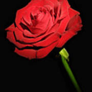 Red Rose On The Black Background  Poster
