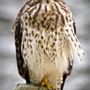 Red Shouldered Hawk Poster