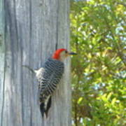 Redheaded Woodpecker Poster by Marie Bulger