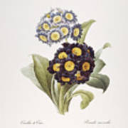 Redoute: Auricula, 1833 Poster