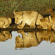 Reflected Lions Poster