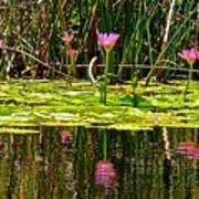 Reflective Wild Water Lilies Poster