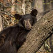 Resting Bear Poster