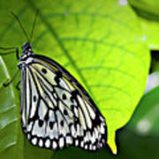 Rice Paper Butterfly 6 Poster