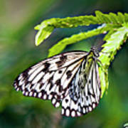 Rice Paper Butterfly 7 Poster