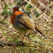 Robin In Hedgerow Poster