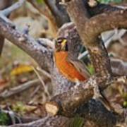 Robin On Cut Down Tree Branch Poster