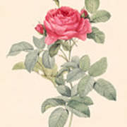 Rosa Gallica Pontiana Poster