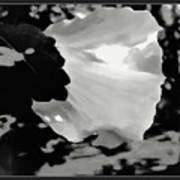 Rose Of Sharon In Black And White Poster