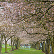 Rows Of Cherry Blossom Trees In Spring Poster