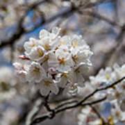 Sakura Spring Poster
