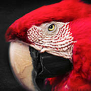 Scarlet Macaw - Ara Macao Poster