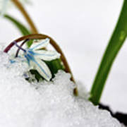 Scilla On Snow Poster