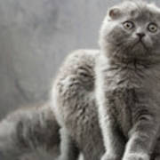 Scottish Fold Cats Poster by Evgeniy Lankin
