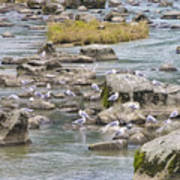 Seagulls On The Rocks Poster
