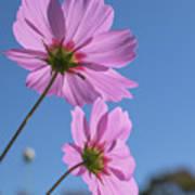 Sensation Cosmos Bipinnatus Pink Cosmos Standing Up Towerd Sky Poster