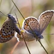 Silver-studded Blue Butterflies Poster