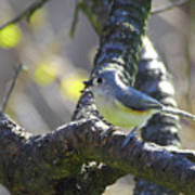 Tufted Titmouse - Small Bird Poster