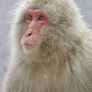 Snow-dusted Monkey Poster