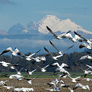 Snow Geese In Skagit Valley Poster
