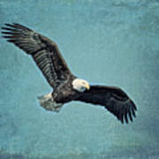 Soaring Bald Eagle Poster