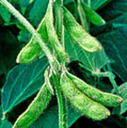 Soybeans Poster