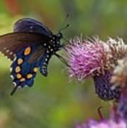 Spicebush Swallowtail On Bull Thistle Poster