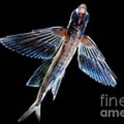 Spotfin Flyingfish Poster