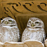 Spotted Owlets Poster
