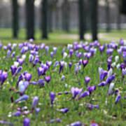 Spring Flowering Crocuses Poster