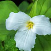 Spring Trillium Poster