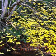 Sugar Maple Birch River Poster