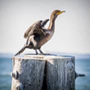 Sunbathing Cormorant Poster